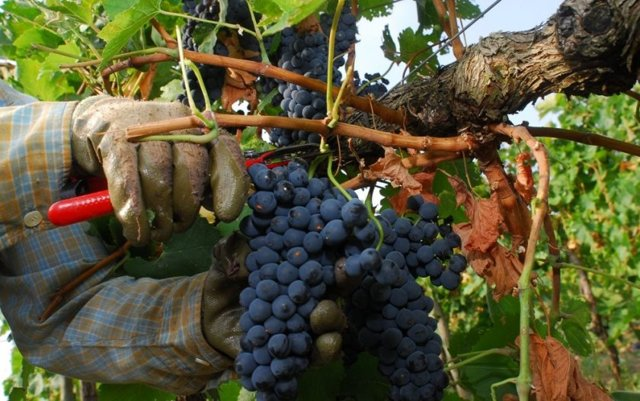 Вино Шираз изготавливается из одноименного сорта винограда