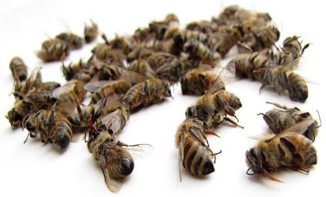 Подмор пчелиный настойка на спирту применение, изготовление