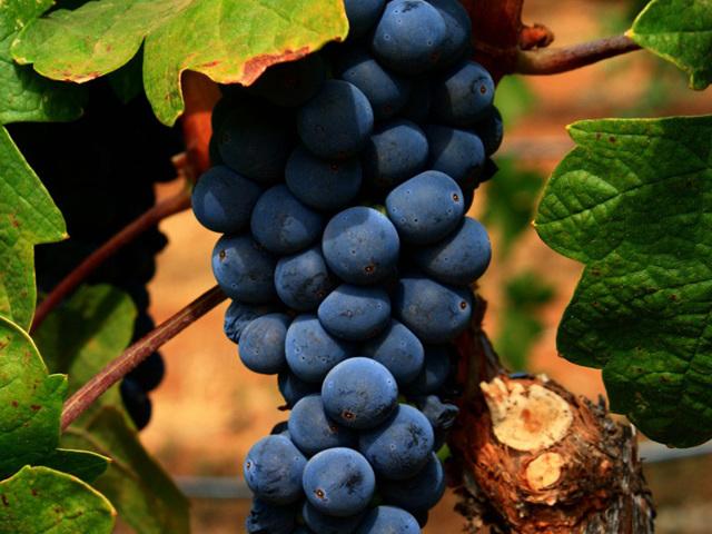 Вино из винограда Изабелла в домашних условиях простые рецепты