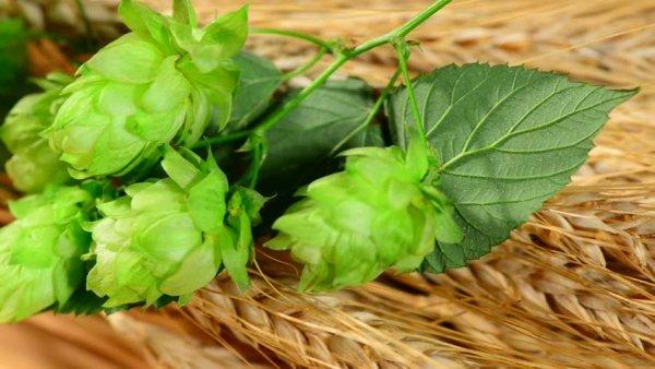 Рецепты бельгийского пива для домашнего приготовления