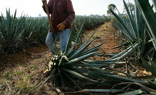 Водка из кактуса: рецепты приготовления алкоголя из агавы
