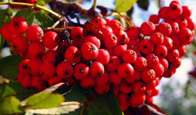Рябина красная рецепты приготовления на зиму и не только