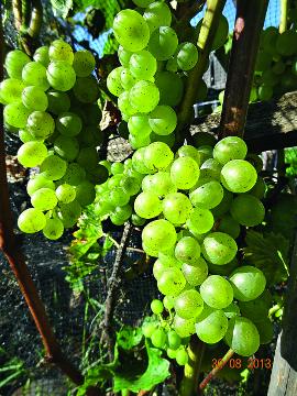Сорта винограда для вина: секреты виноделия и обзор лучших сортов