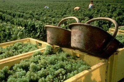 Шардоне вино описание, дегустационные характеристики, сорт