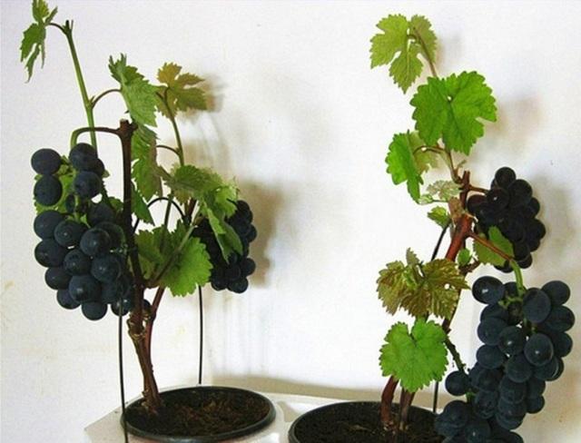 Что сделать из винограда и как его вырастить в домашних условиях
