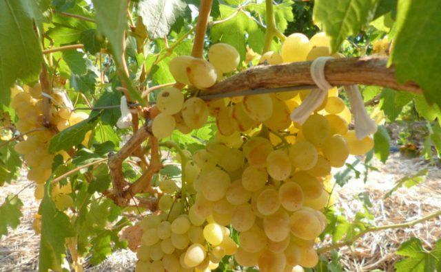 Вино из винограда кишмиш в домашних условиях - простой рецепт