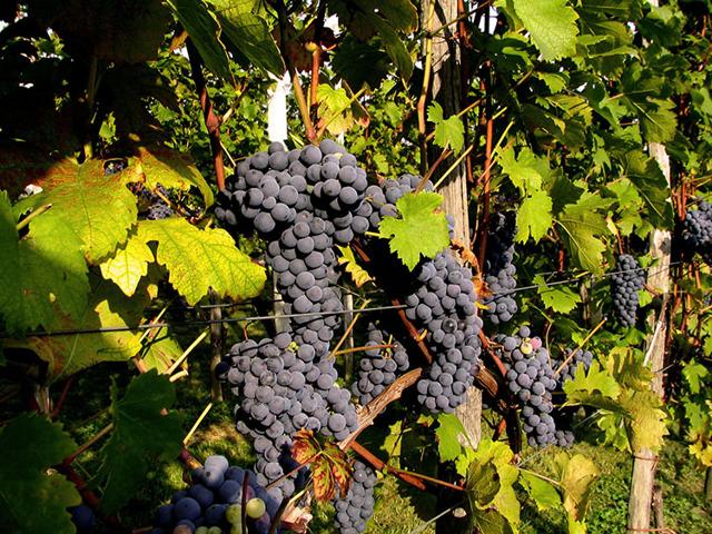 Кислое домашнее вино, как исправить эту проблему?