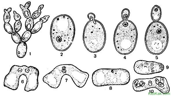 Какие существуют домашние способы размножения дрожжей?
