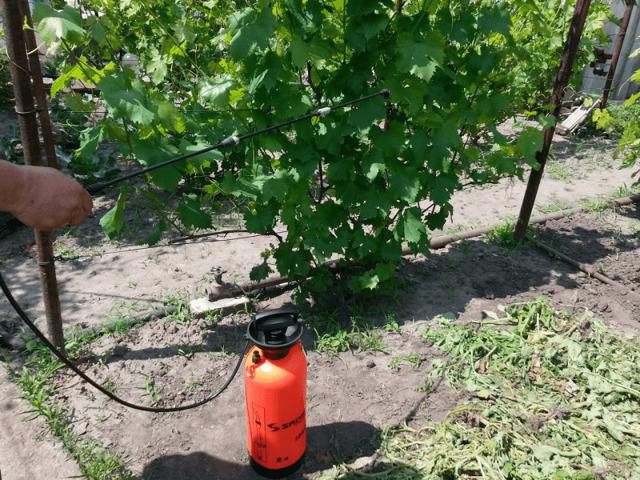 Вино Пино Нуар: обзор, характеристики, сорт, цена, лоза Бургундии