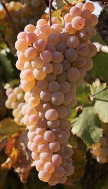 Ркацители вино белое сухое: обзор, характеристики, цена, где купить