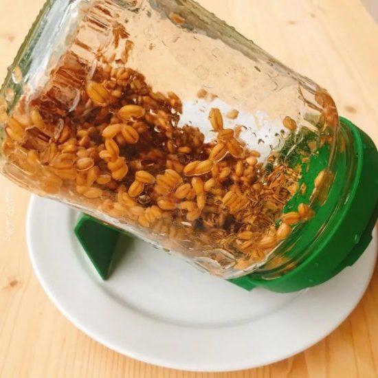 Как вырастить пшеницу в домашних условиях: полезные советы
