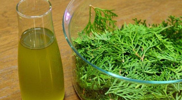 Настойка туи на спирту и водке, приготовленная в домашних условиях