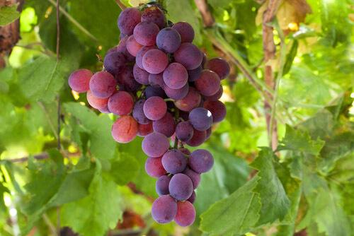 Вино из винограда Лидия: рецепты приготовления, особенности сорта