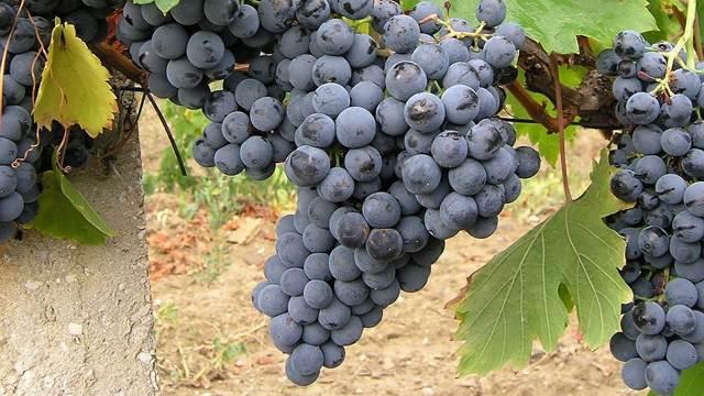 Красные автохтонные сорта винограда Италии и Крыма