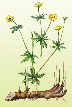 Колганов корень применение, лечебные свойства, настойки, отвары