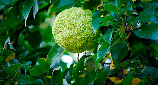 Адамово яблоко: рецепт настойки для суставов, применение