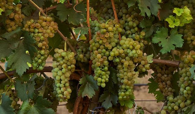 Вино из винограда сорта Кокур десертный Сурож