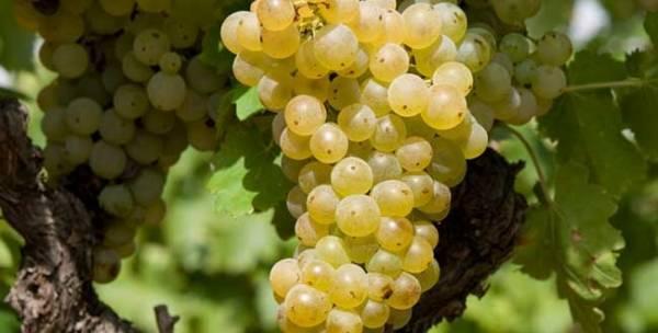 Сорт винограда гарнача, гренаш, виура, менсия